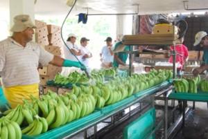 banano ecuatoriano-ecuadortimes-ecuadirnews