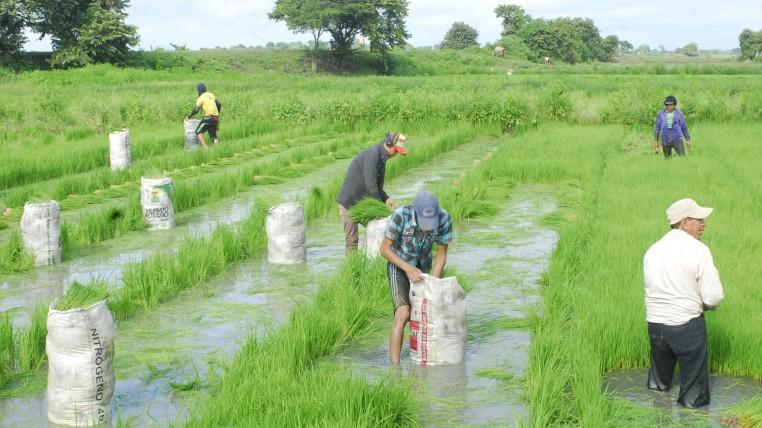 arroz-ecuadortimes-ecuadornews