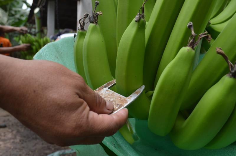 banano-ecuatoriano-ecuadortimes