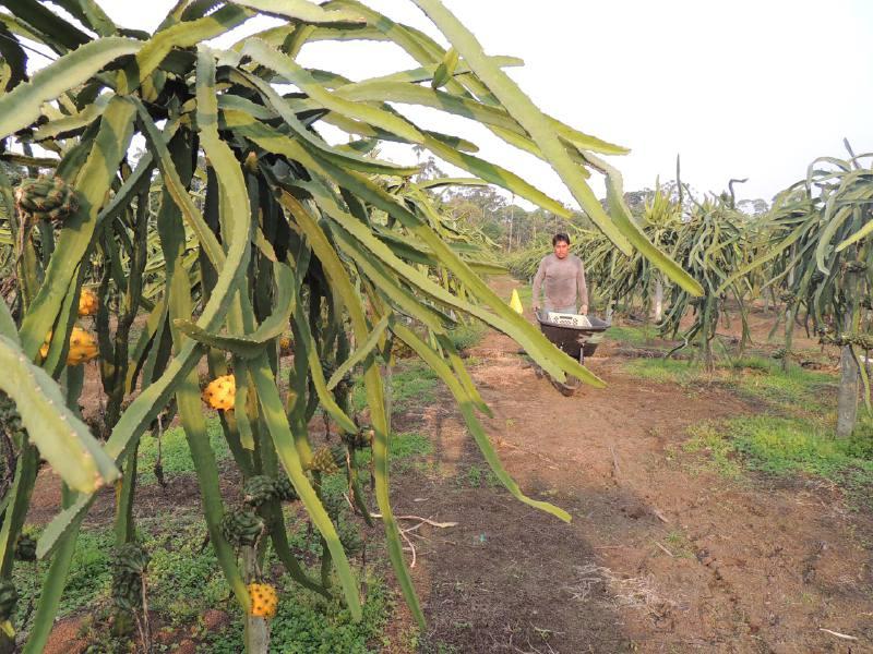 Brazil, Peru and China, in plans pitahaya exporters of Ecuador