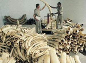 Zimbabwe requires to sell ivory to preserve the environment