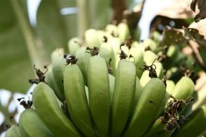 hongo-banana-onu