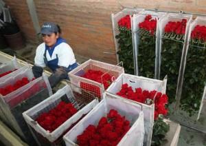 rosas-Ecuador-exportacion
