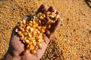 ecuador-exporta-20000-toneladas-de-maiz-y-30000-de-arroz-a-venezuela