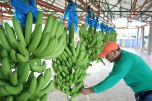 Projections on possible impacts on crops are treated in banana forum.