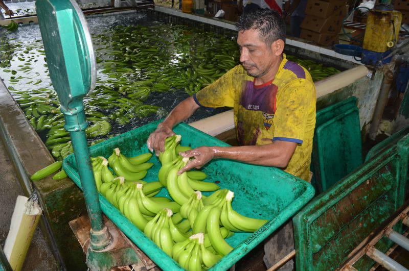 bananero-ecuadortimes
